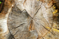 Tree Cross Section Stock Photography