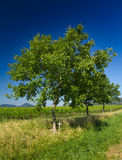 Tree with cross and wineyard. In Pfalz, Germany Stock Image