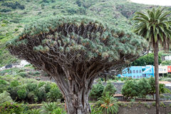 Tree crown of Dragon tree. Dracaena draco tree is natural symbol of the island Tenerife. Icon De Los Vinos town, Canary, Spain Royalty Free Stock Image