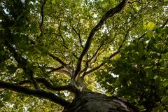 Tree crown of a huge plane tree Royalty Free Stock Image