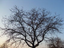 Tree. Crown of the tree without leaves Royalty Free Stock Photo