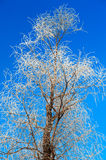 The tree crown with rime in blue sky Stock Photography