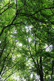 Tree Crown. Sunbeams shine through the leaves in the tree crown Stock Image