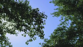 Tree crowns in the blue sky. Tree Crowns Across Blue Sky. Wind Blows and Tree Palms are Shaking stock footage