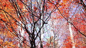 Tree crowns in autumn with falling red and copper-coloured leaves, tilt down. Tree crowns in autumn with falling copper-coloured leaves stock video