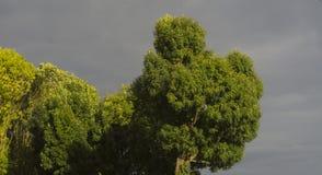 tree crowns Stock Image