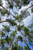 Tree crowns pines Stock Photography