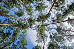 Tree crowns pines Royalty Free Stock Photo