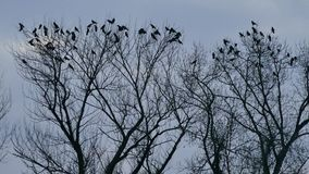 Tree with crows that are resting in the treetops. Jarun Zagreb stock video footage