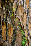 Tree crust close up Royalty Free Stock Photo