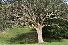 Tree with curly dense branches Royalty Free Stock Photography