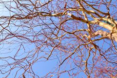 Tree with Curved Branches against Blue Sky stock photo