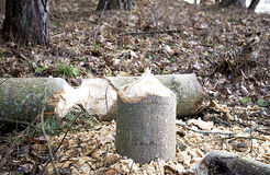 Tree cut by beaver Royalty Free Stock Image