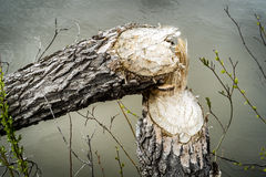 Tree cut by beaver Royalty Free Stock Images