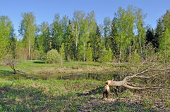 Tree cut down by a beaver Stock Image