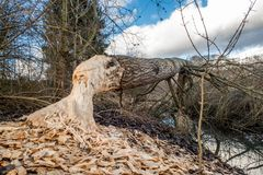 Tree cut down by beaver. Tree cut down by a beaver near a small creek Royalty Free Stock Photo