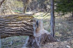 Tree cut down by beaver by the plate river Nebraska stock image