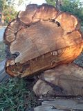 The tree cut down. With people. It has fallen down on the ground Royalty Free Stock Image