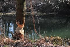 Tree cut by Eurasian beaver or European beaver Castor fiber stock photo