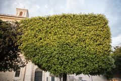 Tree cut in an interesting shape. On the street in Rome, Italy royalty free stock photo