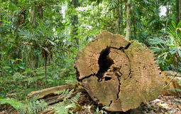 Tree cut in rainforest. A big tree has been cut down in the rainforest Royalty Free Stock Images