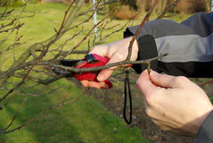 Tree cutting 19. Tree cutting with secateurs , gardening Stock Image