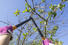 Tree cutting. With a big secateurs Royalty Free Stock Photo