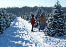 Tree cutting couple. Man and woman selecting a Christmas tree stock image