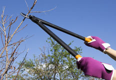 Tree cutting in a garden. Tree cutting with a big secateurs Stock Photography