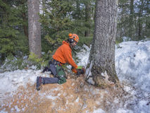 Tree cutting by a lumberjack. In the winter months Stock Photos