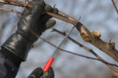 Tree cutting with saw Royalty Free Stock Images