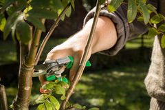 Tree cutting with a secateurs on the huge garden Royalty Free Stock Image