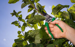 Tree cutting with a secateurs on the huge garden Stock Photography
