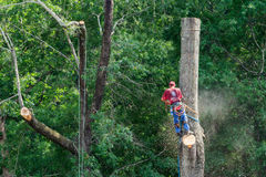 Tree Cutting Specialist Sawing Tall Hardwood Stock Photos
