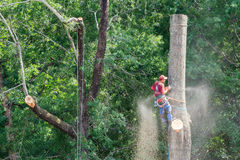 Tree Cutting Specialist Sawing Tall Hardwood Stock Photography