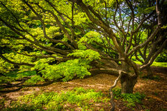Tree at Cylburn Arboretum, in Baltimore, Maryland. Royalty Free Stock Photography