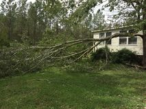 Tree damage caused by hurricane Florence. Large tree branch snapped off during hurricane Florence. Branch is laying on the ground, but still attached to the tree stock photo