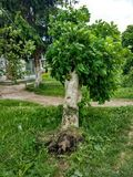 Tree is damaged as a result of road traffic accident, the root is torn out from the ground. The theme of traffic safety on the road Royalty Free Stock Images