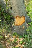 Beaver leaves his mark in the forest