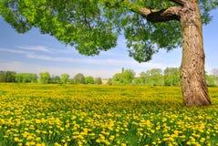 Tree on dandelion field Royalty Free Stock Photography