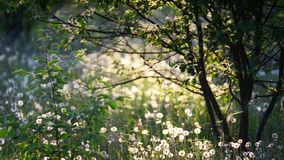 Tree and dandelions field. In soft sunset back-lit light stock footage
