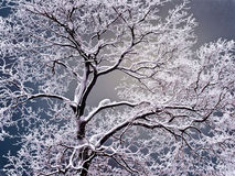 Tree with dark branch coated by snow in winter season on background sulphur sky. Tree with dark branch without sheet coated by snow in winter season on royalty free stock photo
