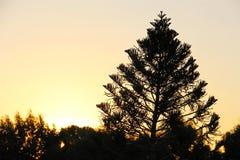 A tree at dawn. Araucaria heterophylla tree at dawn Royalty Free Stock Photo