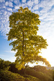 Tree at dawn with very warm lighting Royalty Free Stock Images