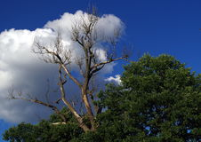 The tree. Dead branch of living tree royalty free stock image