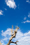 Tree dead sky background Royalty Free Stock Images