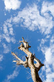 Tree dead sky background Royalty Free Stock Photos