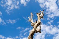 Tree dead sky background Stock Images