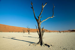 Tree at Dead Vlei in Namibia Stock Photography