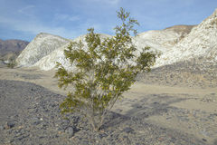 A tree in Death Valley National Park Royalty Free Stock Images